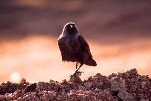 Corvus monedula 4...pose! by Theleppan