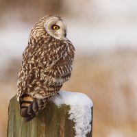 Surveying - Short-eared Owl by Jamie-MacArthur