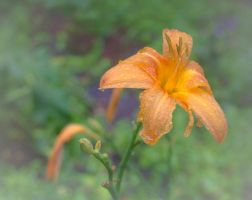 orange lily 1 by FreedomeSoul88