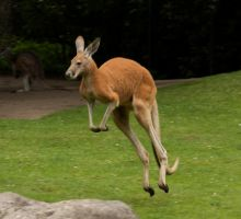 kangaroo motion study 6 by bookscorpion