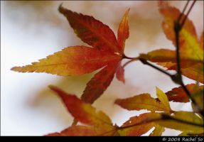 Autumn Maple Colors by butterfly36rs