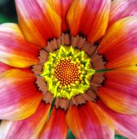 Pink Gazania 2 by Mark-Allison