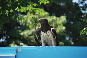 martial eagle 1.7 by meihua-stock