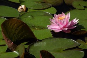 Water Lily 1 by papatheo