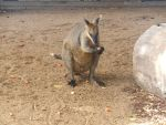 Wallaby by Tamagotchy