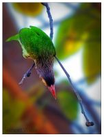 Brown Headed barbet by freudian-slips