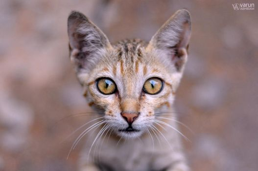 Curious Cat by varunabhiram