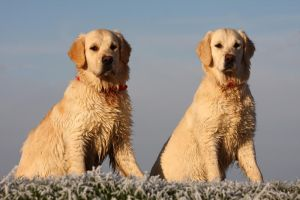 Golden Puppies by MissToseland