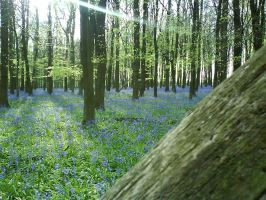 The BlueBell Wood by Benjy67k