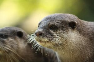 Female  Oriental small-clawed otter by DarkTara