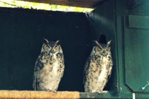 Emo Owls- Great Horned Owls by donnatello129