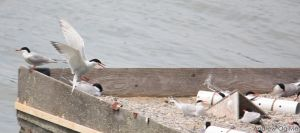 Common Tern by PrimalOrB
