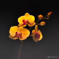 Orchid by Philippe-Albanel