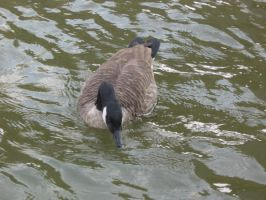 Canadian goose 04 by CotyStock