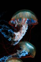 Shedd Aquarium Jellyfish by Melinda88