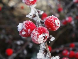 frosted berries by red-silhouette