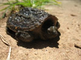 Baby Common Snapping Turtle by LuckisGONE