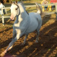 JA Arab grey canter toward by Chunga-Stock