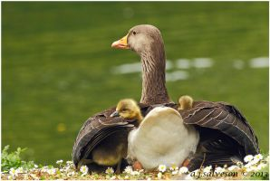 Greylag  Sheltering Her Goslings. by andy-j-s