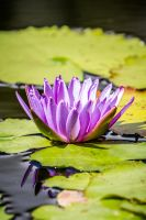 Lilac Lotus by 904PhotoPhactory