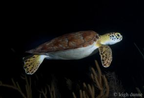 Night Turtle by leighd