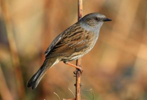 Dunnock by NurturingNaturesGift