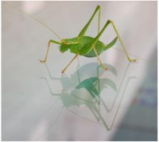 Grasshopper on the glass by Keiton
