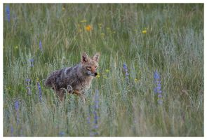 Coyote In The Meadow by StringOfLights