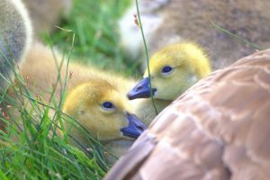 Canada goose goslings by speggy1972