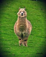For You All, A LLAMA.. by Estruda