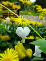 White Bleeding-heart - Coeur de Marie - Dicentra s by Cloudwhisperer67