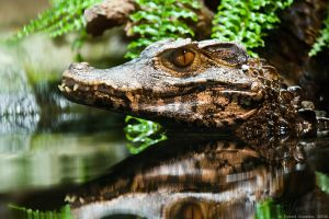 Cuvier's dwarf caiman by vetchyKocour