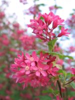 Ribes blossom in pink by schaduwvacht