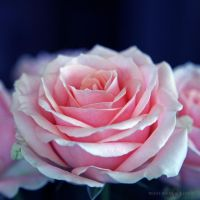 Soft Rose by WhiteBook
