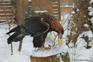 Golden Eagle 5 / Steinadler 5 by bluesgrass