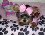 Cierra my Yorkie by DeniseGarbis