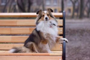 Shy sheltie by Aannabelle