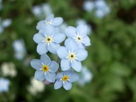 Forget-me-not by Anny78