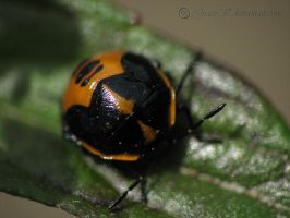 Black and Orange LadyBug by gracek