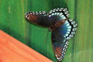 Red-spotted Purple by tarheel4life