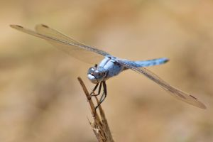 Dassia dragonfly August 2014 5 6 by melrissbrook