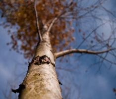 Birch by fr1man