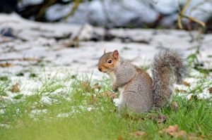 Grey Squirrel 02 by Jupis