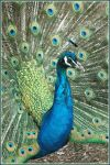 peacock 5 by Cmac13