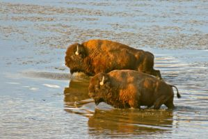 Bison Pair Crossing River by Kippenwolf