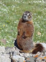 Yellow-Bellied Marmot by Peaceroo