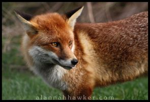 Red Fox by Alannah-Hawker