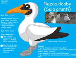 Nazca Booby Reference by WildLifeWarriors