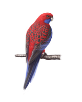 Crimson Rosella by Hobbitato