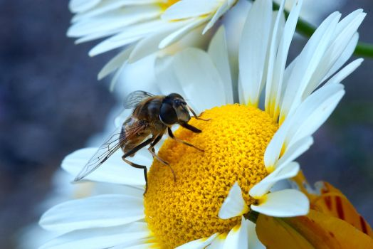 Hoverfly by Ballisticvole